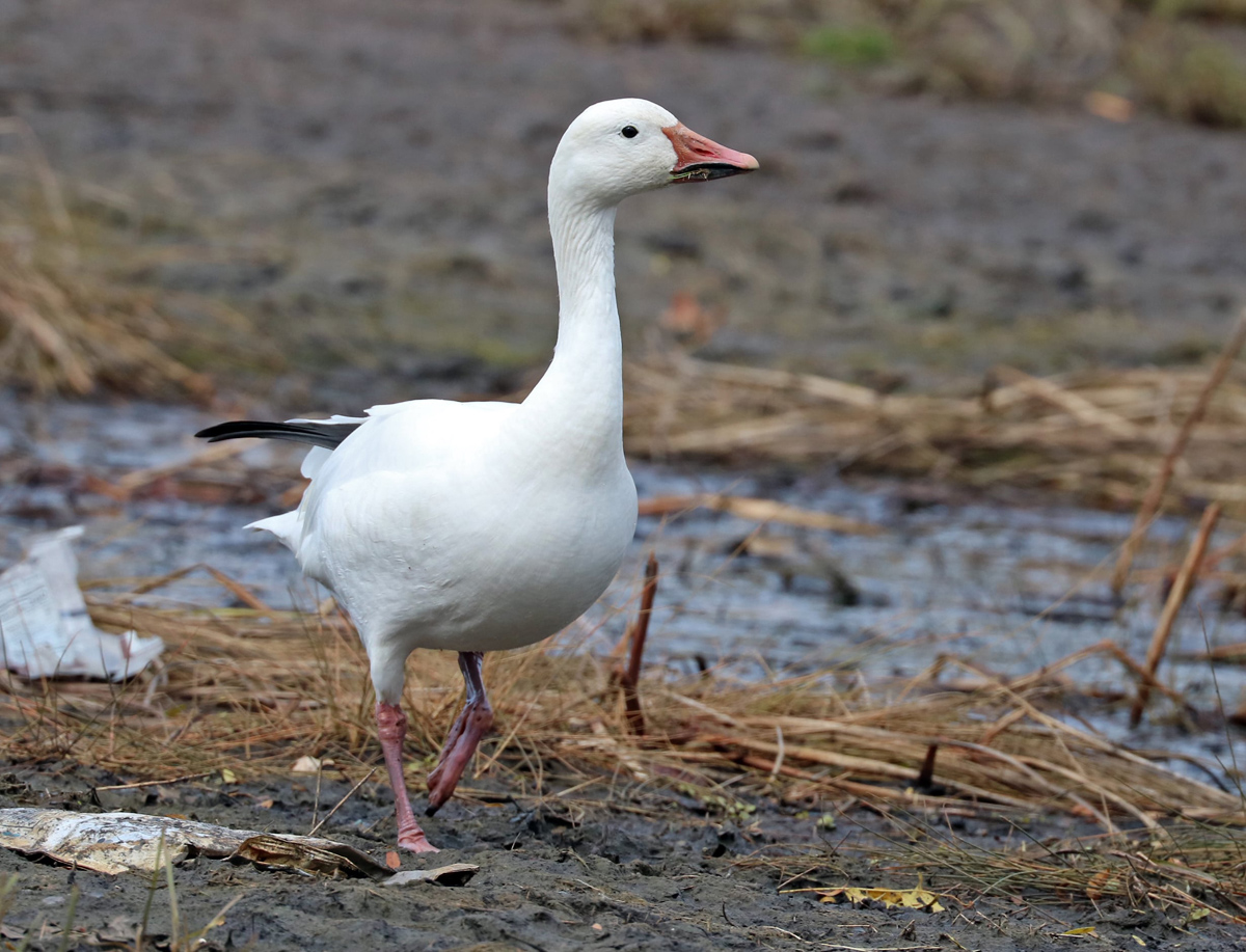 Small white goose with grin patch walks through the shallow wetland.