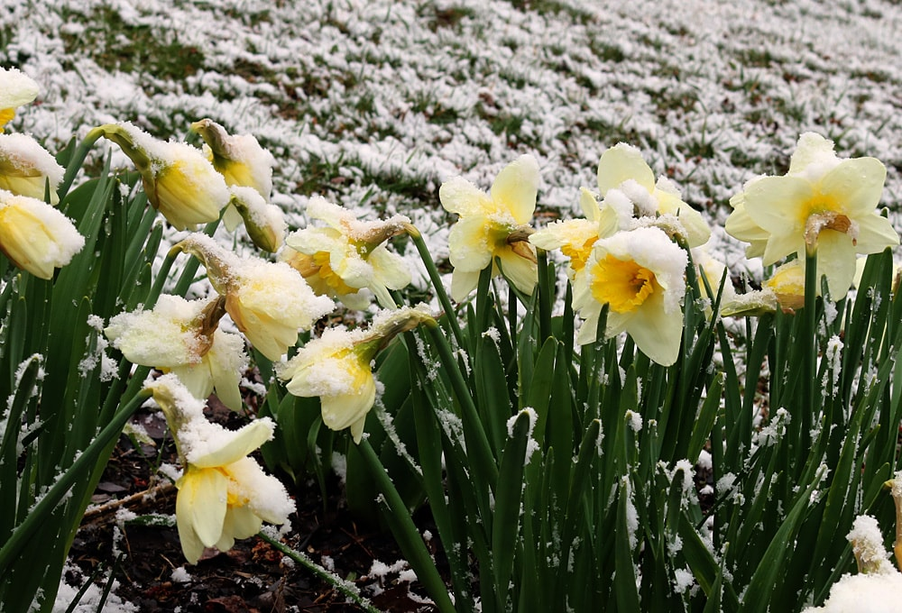 Yellow and white daffodils covered with a light dusting of snow