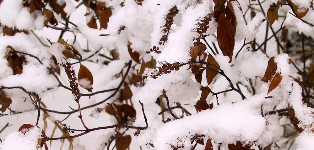 Snow-covered courtyard with leaves and twigs popping through the snow