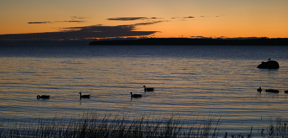 Canada geese swimming in Lake Huron at sunrise