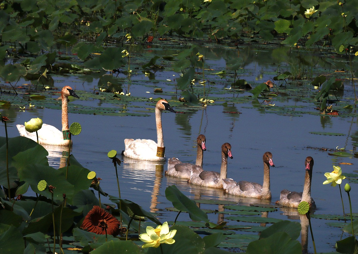 four young cygnets lead their two parents through the lily pads of the pond.
