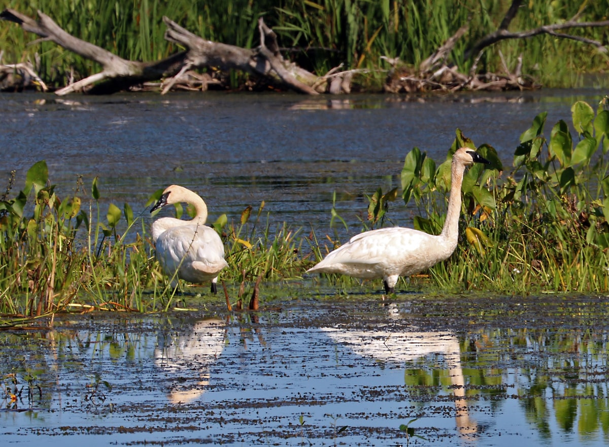 two white swans raise their heads after feeding in the still waters of the marsh