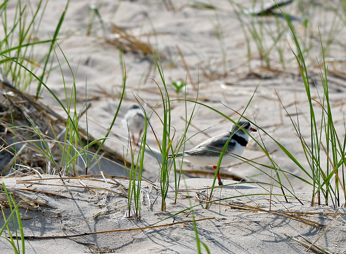 two Piping Plovers almost hidden in the vegetation