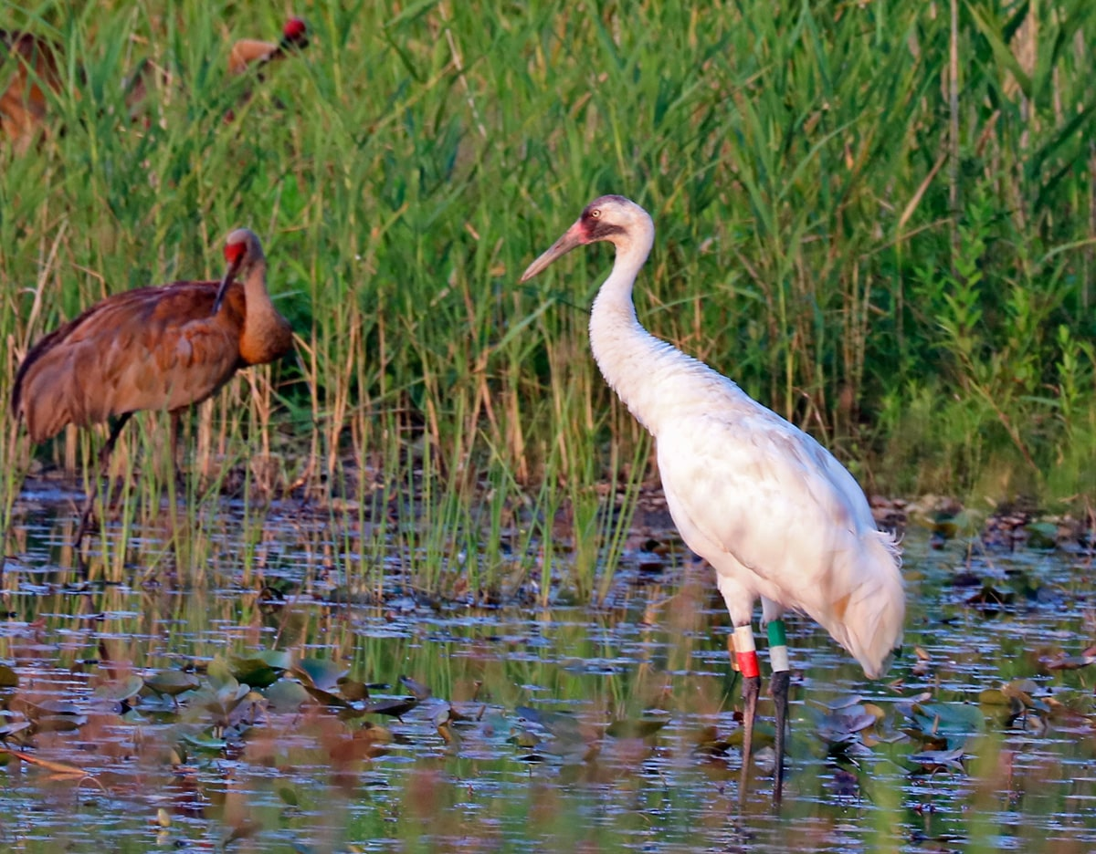 Whooping Crane and Sandhill Crane in the shallow waters.