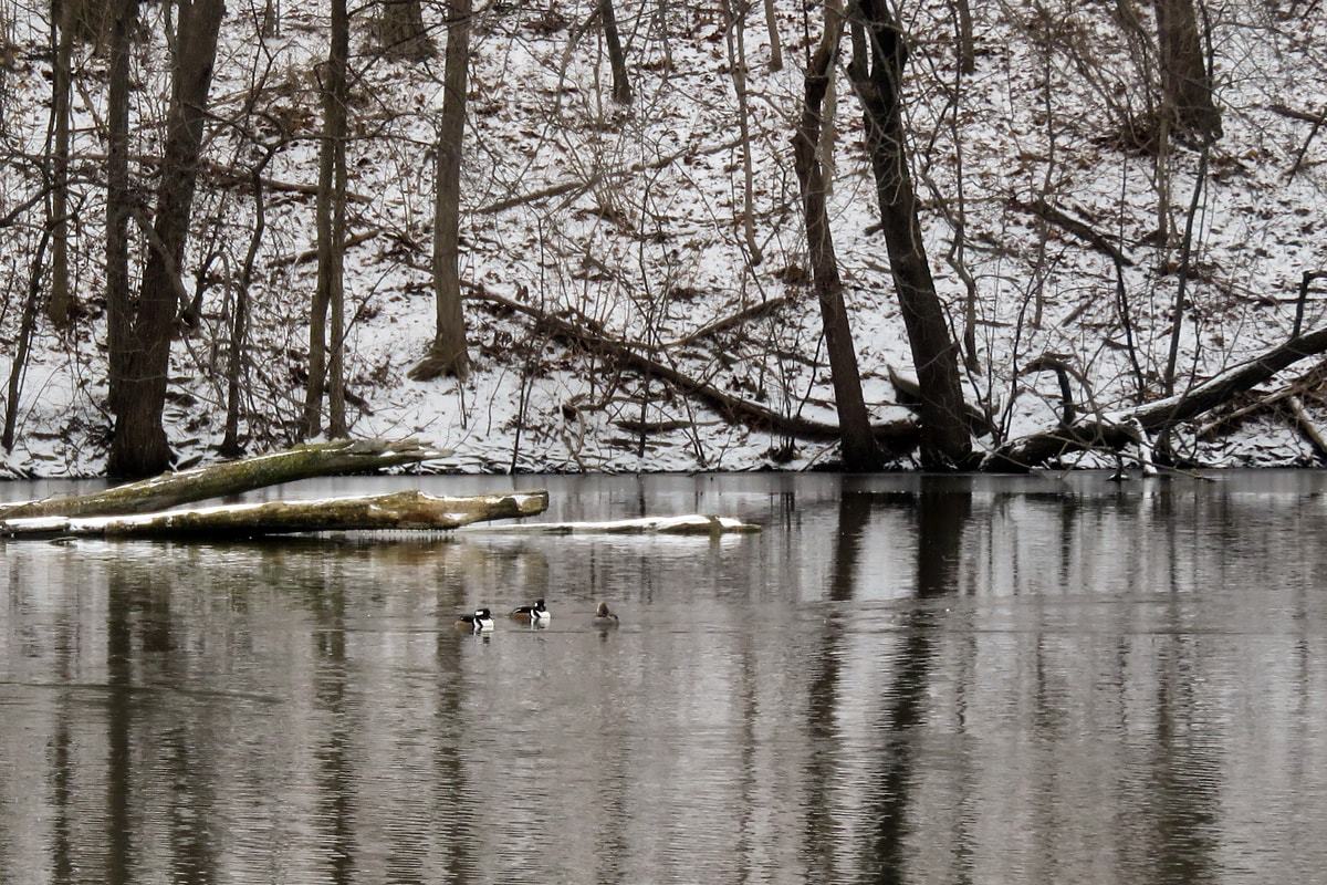 Three Hooded Mergansers swimming in the open water, snow-covered trees and shrubs in the background