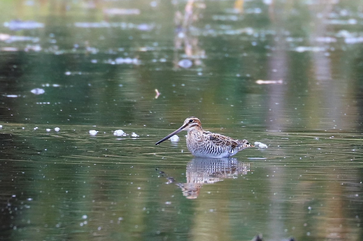 stocky brown and white shore bird with short legs and long pointed bill wades through the water.