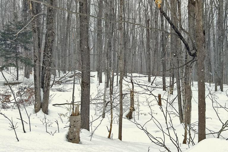 looking out through the bare trees, evergreens, and trails of the snow covered woods during a heavy snowfall.