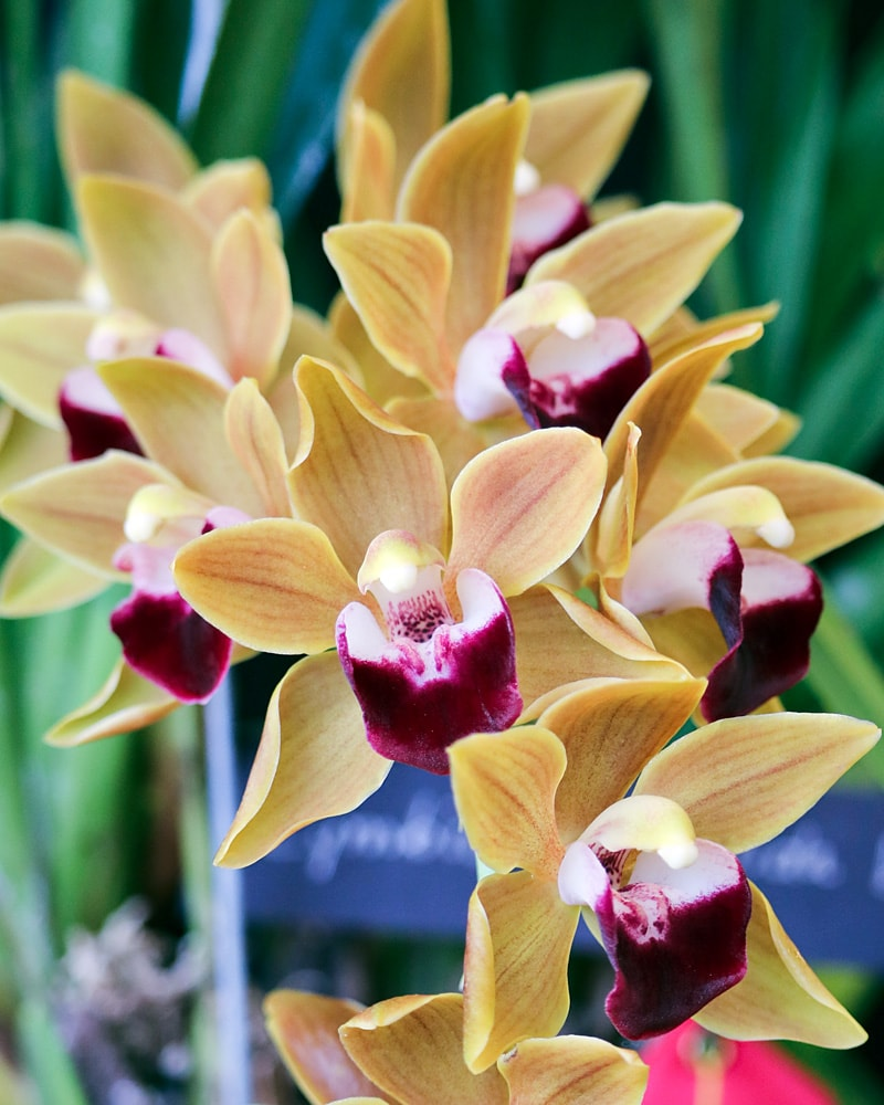 Yellow Cymbidium orchid with deep magenta and white centers
