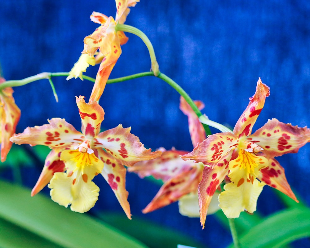 Yellow-orange orchids with stylized elongated bracts