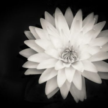 image of lotus flower to represent beauty in yoga
