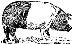 1921 drawing of Hampshire Hog