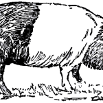 1921 drawing of Hampshire Hog