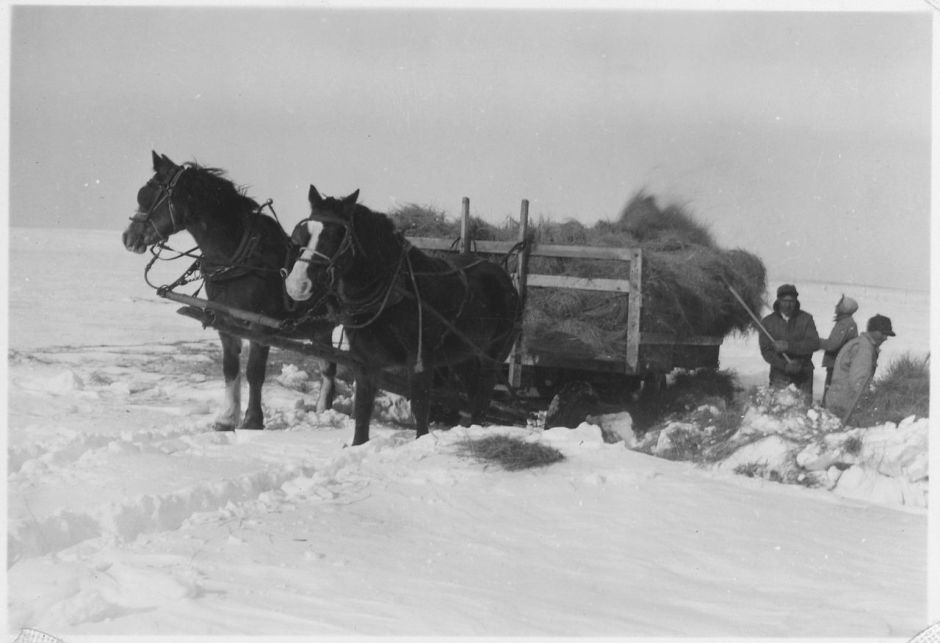 Team of seventeen-year-old mares pulling a load of hay, 1940 (Public Domain, BIA, ARC Identifier: 285298)