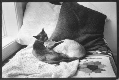 Cats in bed 1970    - copyright Lisl Steiner
