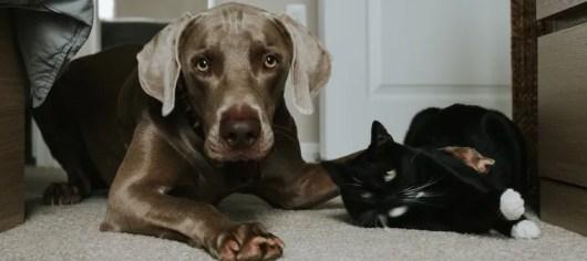 Cachorro de laboratorio marrón y gato tuxedo tendidos juntos en el suelo - presentando perros y gatos
