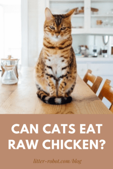 Tiger-striped cat sitting on a wooden dining table - can cats eat raw chicken?
