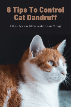 orange and white tabby cat - 6 tips to control cat dandruff
