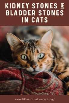 Bengal cat with green eyes lying on a red-patterned couch - kidney stones in cats and bladder stones in cats