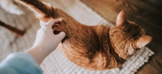 orange tabby cat arching back while being pet on the back