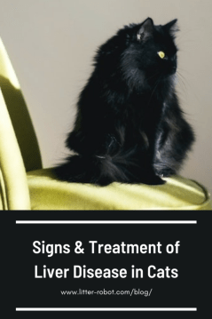 long-haired black cat with yellow eyes sitting on an accent chair - liver disease in cats
