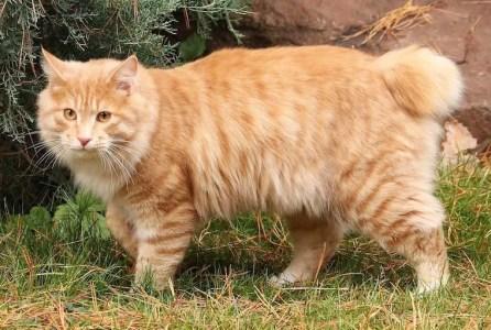 Kurilian Bobtail cat - bobtail cats
