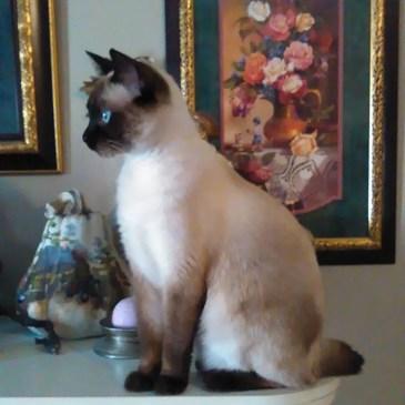 Owyhee Bob cat - gatos bobtail