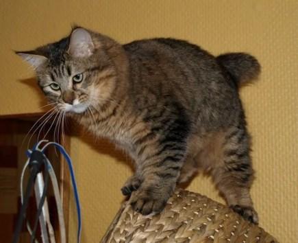 Pixiebob cat - bobtail cats