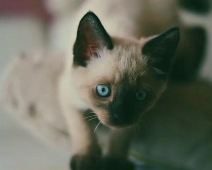 Toybob cat - bobtail cats