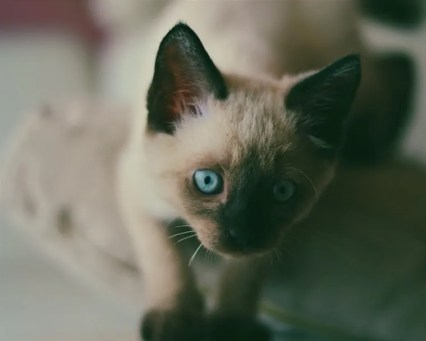 Gato toybob - gatos bobtail