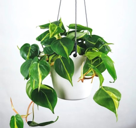 Philodendron - plants toxic to cats