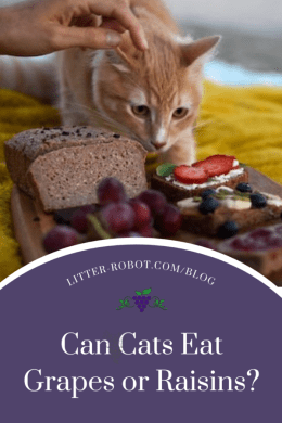 Orange tabby cat next to cutting board with bread, grapes, and jelly - can cats eat grapes or raisins?