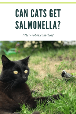 Black cat outside on the grass next to a bird - can cats get salmonella?