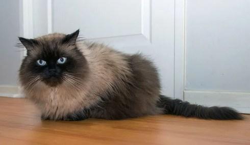 Gato del Himalaya - razas de gatos colorpoint