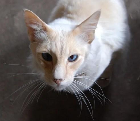 Gato rojo Colorpoint de pelo corto - razas de gatos colorpoint