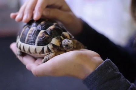 pet turtle held in two hands - can cats salmonella from turtles?