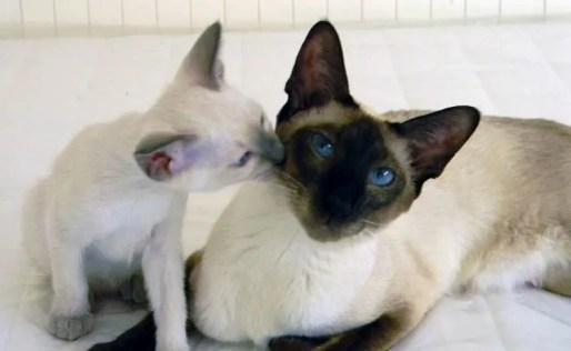 Gato tailandés adulto y gatito - razas de gatos colorpoint