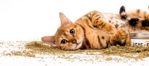 5 razones de por qué a los gatos les gusta la hierba gatera?