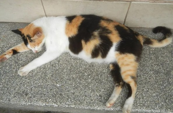 Calico cat sleeping with swollen abdomen - how to tell if a cat is pregnant