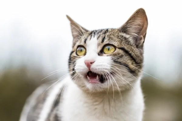 Brown and white tabby with mouth open - flehmen response in cats