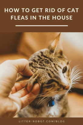 hand scratching tabby cat ear - how to get rid of cat fleas in the house