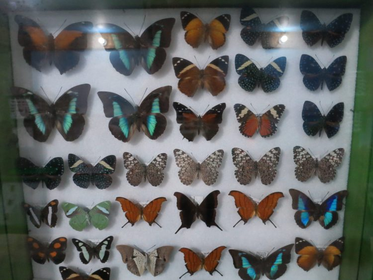 Butterflies from all over the world are on exhibit at the Insectorium - Roatan Honduras