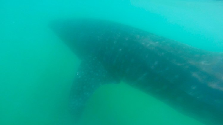 Swim with whalesharks in La Paz Mexico. Read more about things to do near cabo san lucas on the blog post.