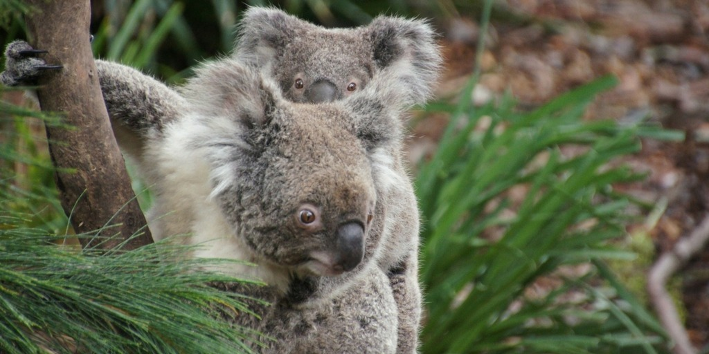 Phillip Island Koalas at the Koala Conservation Centre | things to do in Melbourne with Kids | Little City Trips - City Travel Experts