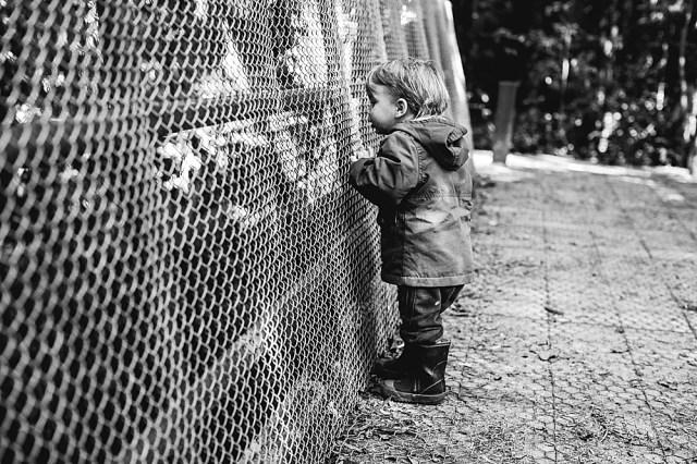 Percy peeking through a fence at Pukaha National Wildlife Reserve