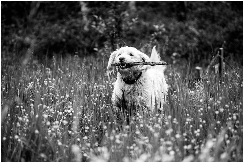 Black and white photo of Frodo the labradoodle.