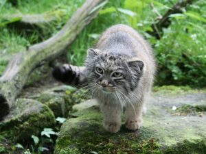 pallas-cat-wallpaper-4