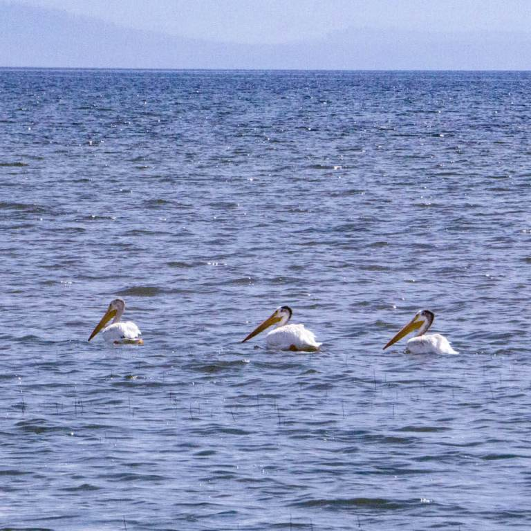 Pelicans on Yellowstone Lake