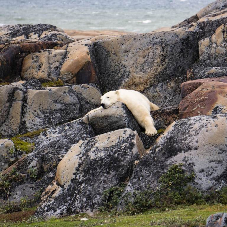 Polar-bear-lying-on-rocks-Churchill