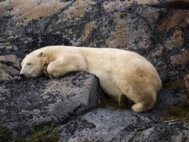 Polar-bear-sleeping-on-rocks-Churchill