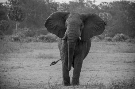 African-Elephant-Gorongosa-Mozambique-black-and-white